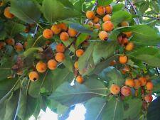 15 Seeds Diospyros melanoxylon,  East Indian Ebony , Coromandel Ebony