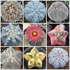 Mixed Succulent Seeds Lithops Rare Living Stones Seeds Cactus - 50 seeds