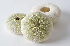 "Green Sea Urchins Seashells Beach Wedding Nautical Craft 1 1/2"" - 2 1/2"" (3 pcs)"