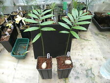 1 x Encephalartos turneri (Seedling)