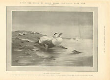 Pacific Eider Duck, Previously Unknown In British Waters, 1905 Antique Print,