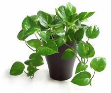 Golden Pothos IVY! EASY TO GROW Tropical plant! Variegated yellow & green leaves