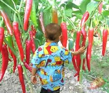 "FD605 Giant Red Hot Spices Spicy Chili Pepper Seeds Plants Up 50cm20"" Long 10PC/"