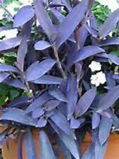 Colorful Purple Heart Trailing Ivy Starter Plant