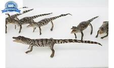 100% Real Genuine Freshwater Crocodile - Stuffed Taxidermy Mounted 30CM #St30
