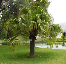 Livistona chinensis Chinese Fan Palm 10 seeds