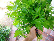 300 ITALIAN GIANT PARSLEY SEEDS 2017 ( $3.00 MAX SHIPPING! )
