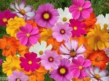 +150 graines de Cosmos Fleurs Mélange *Géants et Sulfureux* (Cosmos) Samen Seeds