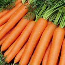 Carrot Vegetable (Early Nantes)-Pack of 50 Seeds