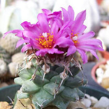 Turbinicarpus alonsoi flowering cacti rare flower collector cactus seed 50 SEEDS