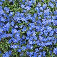 50+ VERONICA CREEPING BLUE (SPEEDWELL) PERENNIAL FLOWER SEEDS  GREAT CUT FLOWER