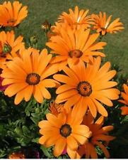 African Daisy seeds -Orange & Yellow Mix (Pack of 10 seeds) F-011