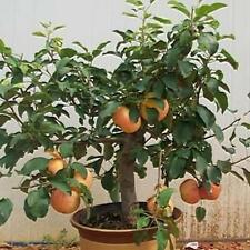 Bonsai Apple Tree Fruit Plant Seeds Delicious Plants Seed Home Garden