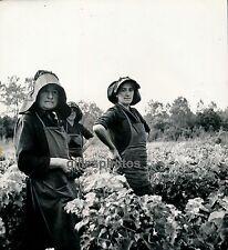 SOULAC c. 1938 - Vendanges Pointe de Graves Gironde - Div 2133