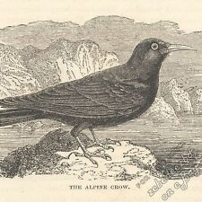 Alpine Crow: antique 1866 engraving print - bird picture animal drawing art wild