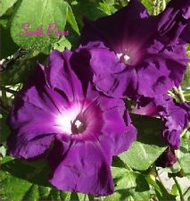 Murasaki Shikibu Japanese Morning Glory Seeds - ipomoea nil - NEW  ஐƸ̵̡Ӝ̵̨̄Ʒஐ
