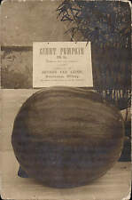 Witney. Giant Pumpkin Grown by Mrs Cox, Freeland. Exhibited by Arthur Lea Leigh.