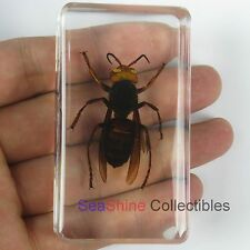 Real Insect Specimen - Asian Giant Tiger Hornet (Vespa Mandarinia) 73*41mm