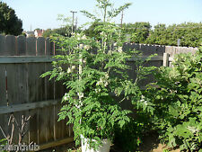 Vegetable Seed - DRUMSTICK - Hybrid Seeds - Moringa oleifera - Pack of 20 seeds.