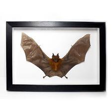 REAL Diadem Leaf-Nosed Bat in Frame Taxidermy UK - Vampire, Voodoo, Curiosities