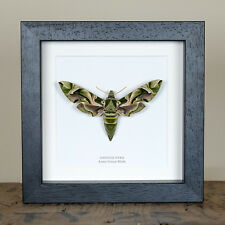 Army Green Moth in Box Frame (Daphnis Nerii)