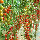 10x Tomato Tree Seed Nutritious Delicious Fruits Plant Organic Heirloom Seed