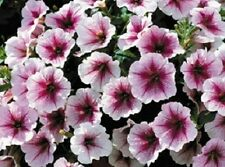 Petunia Seeds 25 Pelleted Seeds Opera Supreme Raspberry Ice Trailing Petunia