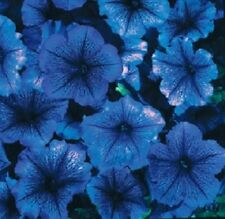 Petunia Seeds Celebrity Blue Ice 50 Pelleted Flower Seeds Pelleted Seeds