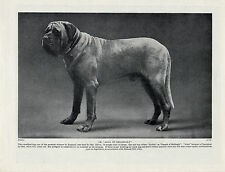 MASTIFF  CHAMPION AJAX OF HELLINGLY GREAT IMAGE OLD ORIGINAL DOG PRINT FROM 1934