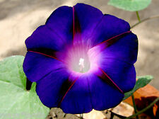 30 Graines Ipomée 'Kniola's Black' Fleur Grimpante (Ipomoea) Morning Glory Seeds