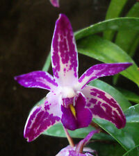 Dendrobium Star King 'Irvine', orchid plant