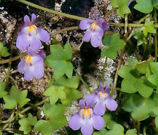 75 Kenilworth Ivy Seeds Cymbalaria Muralis * Coliseum Ivy-Leaved Toadflax Flower