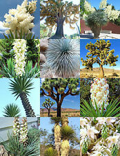 YUCCA MIX, rare palm tree exotic agave aloe flower succulent mixed seed 15 seeds