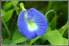 Blue Butterfly Pea _ Clitoria ternatea Herb Flower seeds (10 seeds)  F-214