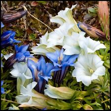 50+ CREAM AND BLUE GENTIAN FLOWER SEEDS MIX/ GENTIANA / SHADE PERENNIAL