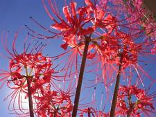 50 Lycoris Radiata RED SPIDER LILY Flower Bulbs ~ Mixed Sizes