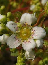 Krusten-Steinbrech ✪ Saxifraga Sukkulente winterhart Steingarten Ableger Pflanze