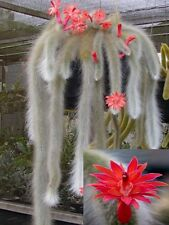 Hildewintera Colademononis * Stunning Monkey Tail Cactus * Red Flowers *10 seeds