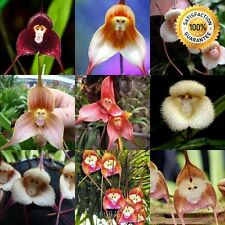 100+ Beautiful Monkey Face Orchid Seeds Bonsai Plants Seeds For Home