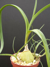 "Pregnant Onion House plant Ornithogalum caudatum rare false sea bulb 4"" pot"