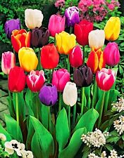 Rare!!! 50 seeds of Tulip flowers mix of colors