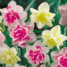 """(5) Perennials  """"Deluxe Doubles Daffodil Mix""""  New Flower Bulbs"""