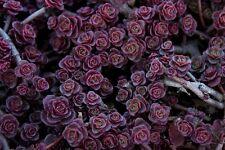 50+  Sedum Spurium Voodoo Flower Seeds / Perennial / Deer Resistant