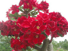 "ADENIUM OBESUM DESERT ROSE ""Strawberry Sunday"" 100 Seeds"