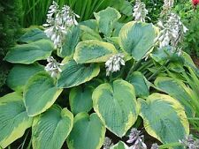 HOSTA FRANCES WILLIAMS PLANT  2 YEARS OLD GUARANTEED 1 YEAR READY NOW