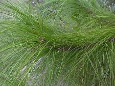 Pinus elliottii SLASH PINE TREE Seeds!