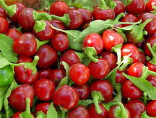 Cherry Bomb Pepper Red Round Hot 15 Finest Seeds