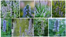 BLUE FORTUNE AGASTACHE MINT HERB  25 +SEEDS+ UNLIMITED SEED PACKS