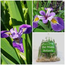 Iris amphibia x versicolor-étang des marges, tourbière jardin, jardin,