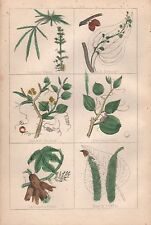 1860 Ca ANTIQUE BOTANICAL PRINT-COMMON HEMP,BLACK BRYONY,CHINESE SMILAX,SARSAPAR